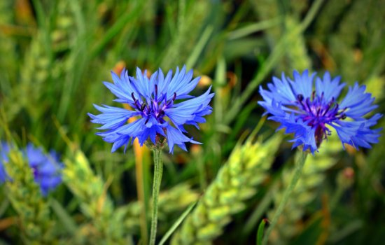 Василек: лечебные свойства ядовитого растения. Рецепты чая, настоя и настойки из полевого василька